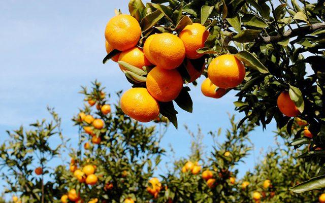 jeju island orange