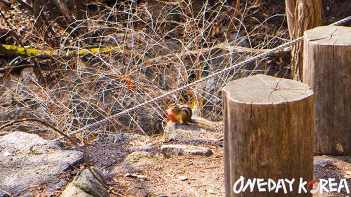 bukhansan mountain squirrel