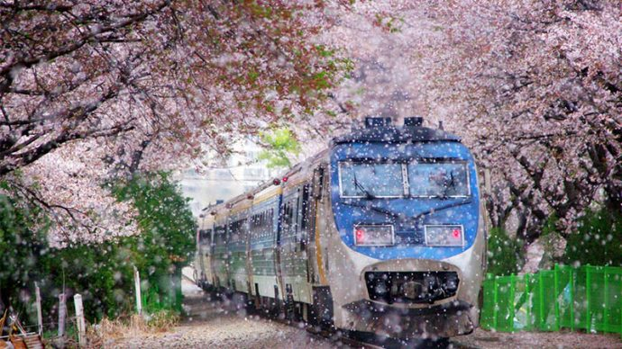 10 Most Beautiful Places in Korea Jinhae Cherry Blossom
