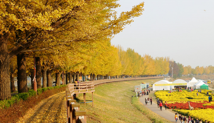 Asan Gokgyo River Ginkgo Tree Road