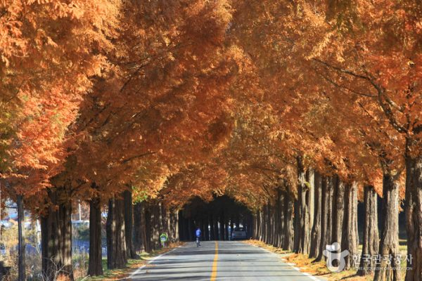 Damyang Metasequoia-lined Road