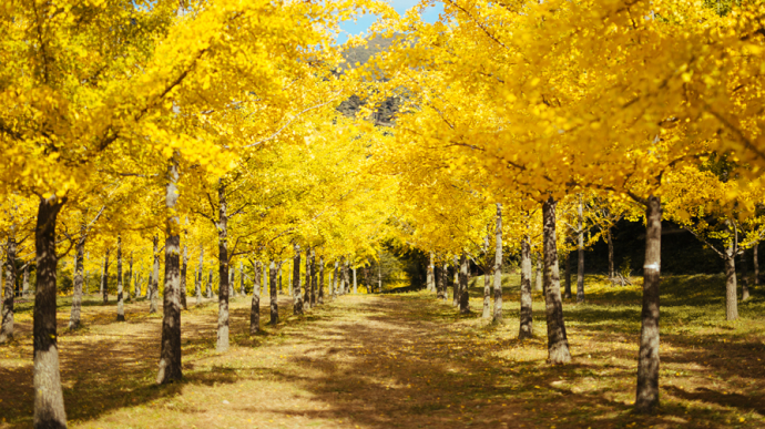 Hongcheon Ginkgo Forest