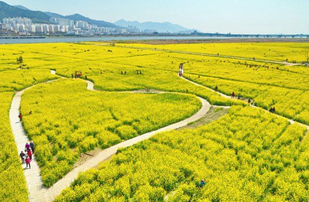 Busan (Daejeo Ecological Park) Canola Flower