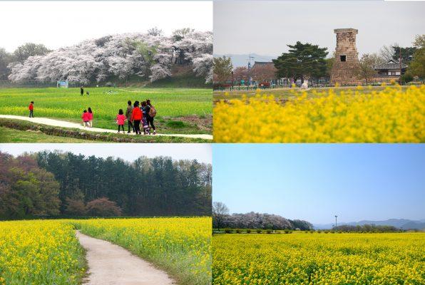 Gyeongju Canola Flower