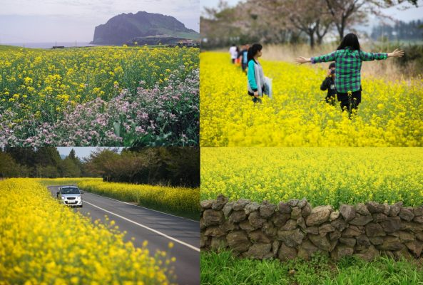 Canola Flower in Korea