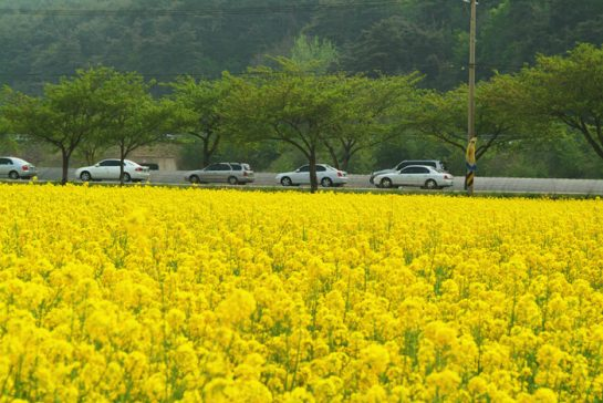 Canola Flowers in Korea