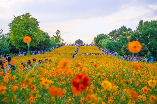 Cosmos Flower in Olympic Park